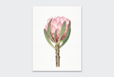 Sketch-King-Protea